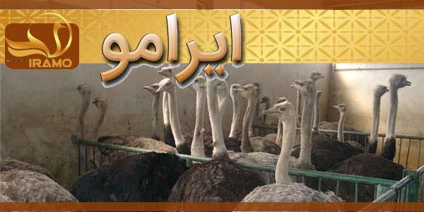 پرواربندی شترمرغ ایرانی