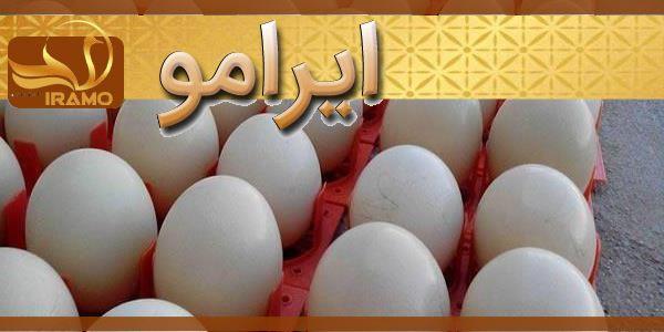 عرضه مستقیم تخم شترمرغ نطفه دار
