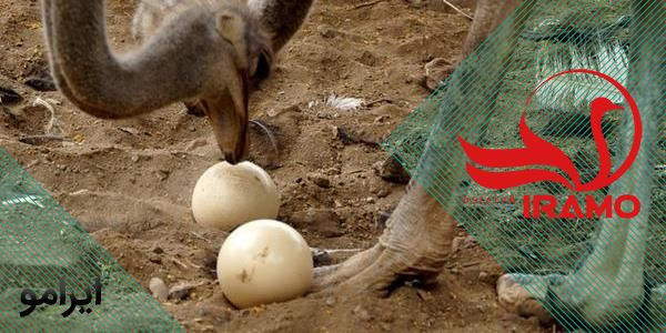 از کجا تخم شترمرغ بخریم؟