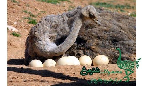 خرید عمده تخم شترمرغ تازه