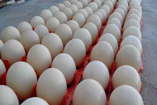 تخم شترمرغ مولد